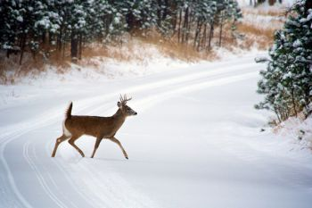 A young buck making tracks on the Playhouse Road.