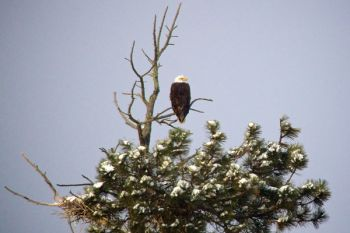 Bald Eagle perched above Stockade Lake.