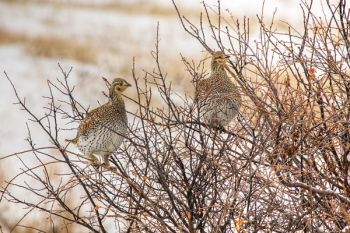 Sharp-tail grouse roost.