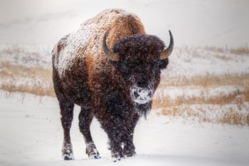 Bison in heavy snow along Custer State Park's Wildlife Loop Road.