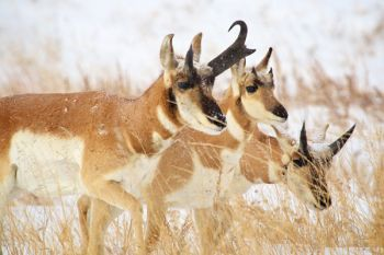 Pronghorn along the Wildlife Loop Road.