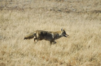 A healthy coyote trots confidently along a highway in Wind Cave National Park. Photo by Bernie Hunhoff.