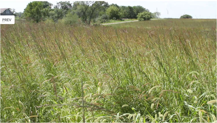 Renovated CRP with six species of warm-season grasses. Photo from ecosunprairiefarms.org.