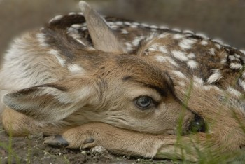 A fawn rests in this photo by <a href='http://www.dakotagraph.com/' target='_blank'>Chad Coppess</a> of South Dakota Tourism.