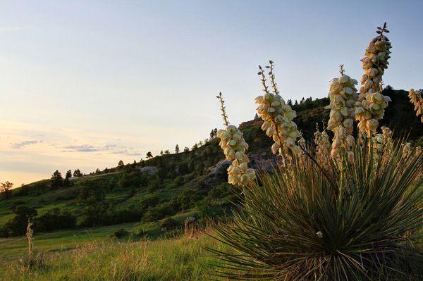 Summer Wild Flowers In South Dakota