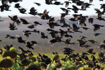 Blackbirds flock to a sunflower field along Highway 18.