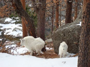 Though they are not native to the Black Hills, mountain goats thrive on Black Elk Peak.