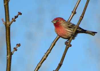 House finch.