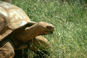 Methuselah, Reptile Gardens' beloved Galapagos tortoise, delighted visitors until his death in July 2011.