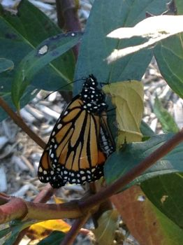 A monarch dries its wings after emerging from the chrysalis.
