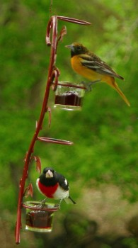 K.C. Jensen found this Baltimore oriole and rose-breasted grosbeak on his feeder near Volga.