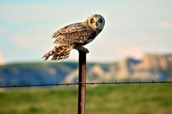 An owl who calls the Slim Buttes in Harding County home.