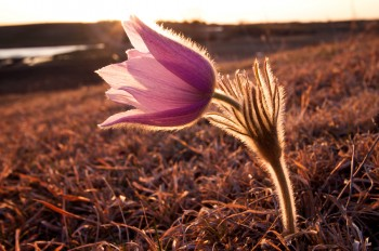 Pasque flower in Vermillion River breaks just south of Lake Vermillion Recreation Area.