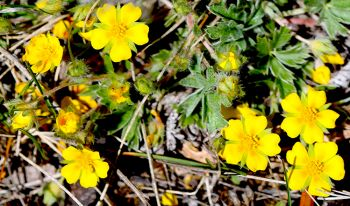 Early cinquefoil.