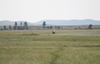 Wildlife is abundant in the broad, grassy plains of Hay Flats in Custer State Park.